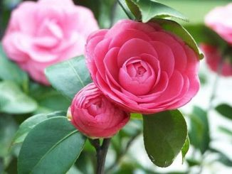 cay hoa tra 2