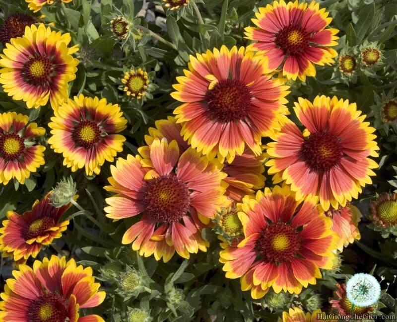 hoa cúc lạc phát triển nhanh vào mùa hè