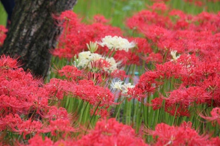 hoa bỉ ngạn màu đỏ và màu trắng đan xen nhau