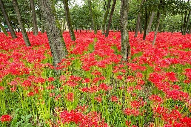 khu vườn hoa bỉ ngạn màu đỏ trong rừng cay