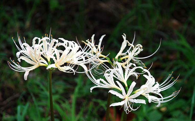 bông hoa bỉ ngạn màu trắng vươn mình
