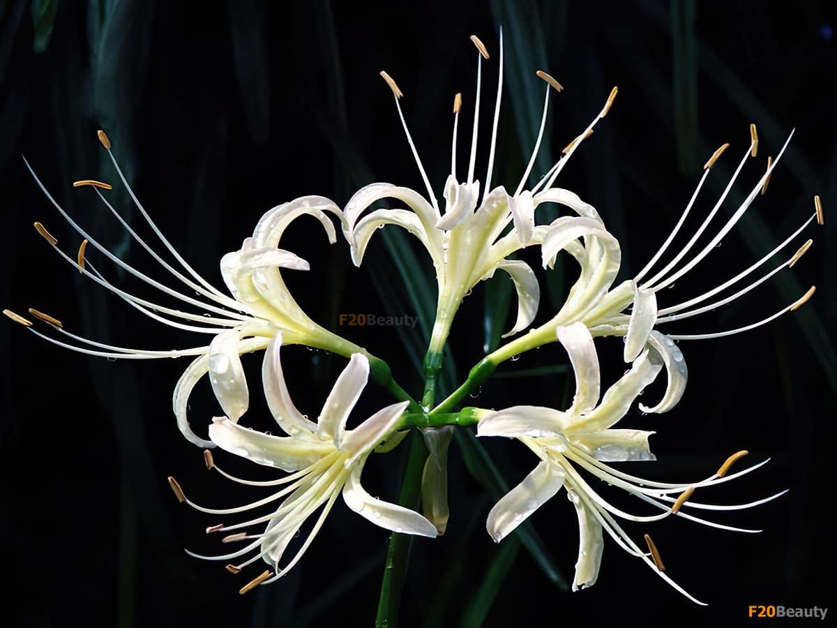 hoa bỉ ngạn màu trắng  trước nắng gió