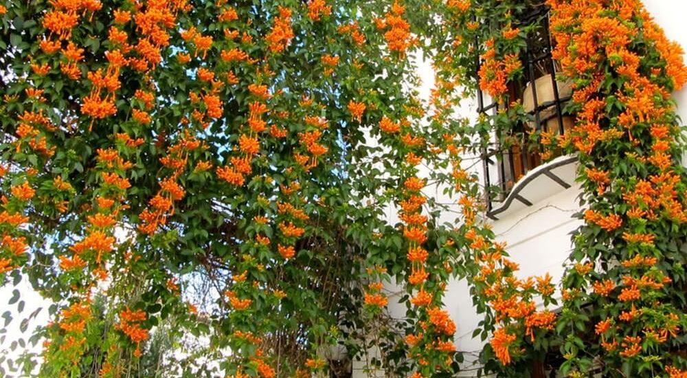 cây hoa chùm ớt khoe sắc trước ngôi nhà