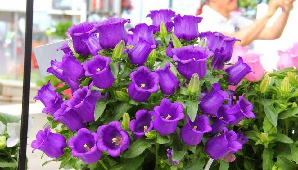 cây hoa chuông nên trồng vào mùa hè