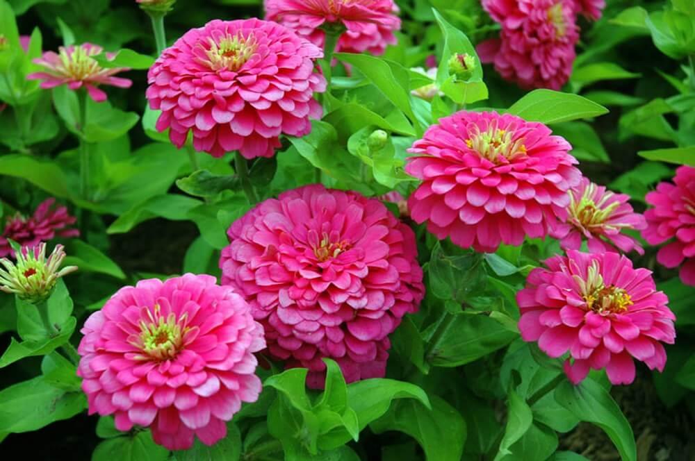 khi trời nắng lên, cây hoa cúc ngũ sắc khoe sắc hương
