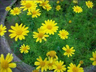 hoa cuc sao bang 2