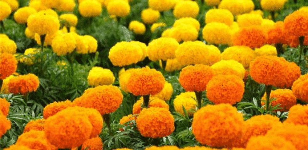 hoa cúc vạn thọ trồng vào mùa hè tốt nhất