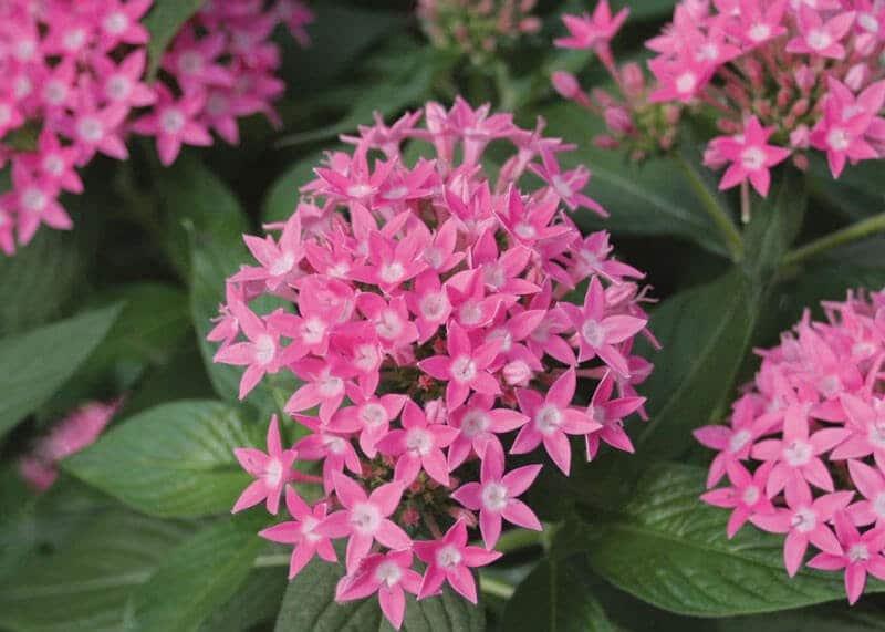 cây hoa diễm châu xinh đẹp