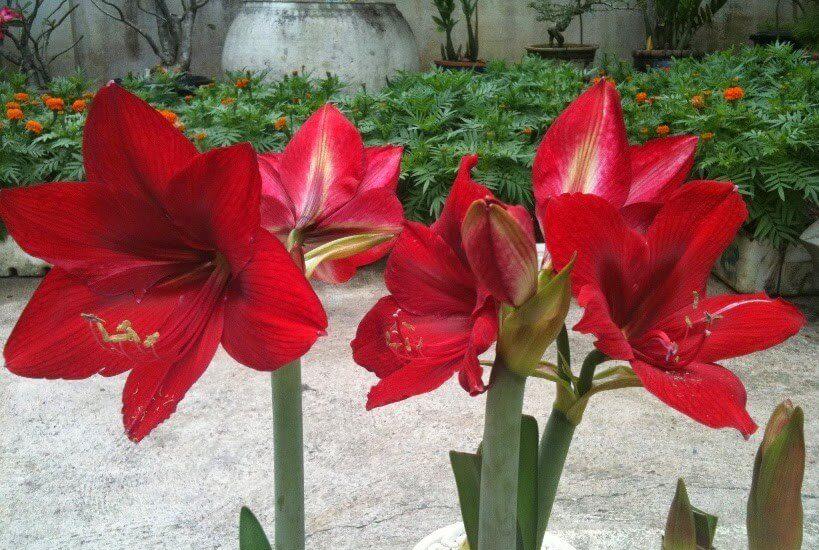 cách chăm sóc hoa loa kèn đỏ rất đơn giản