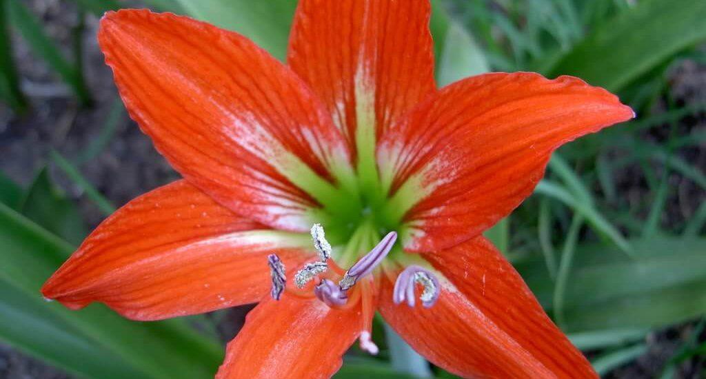 ấn tượng màu sắc và vẻ đẹp của loài hoa loa kèn mang lại