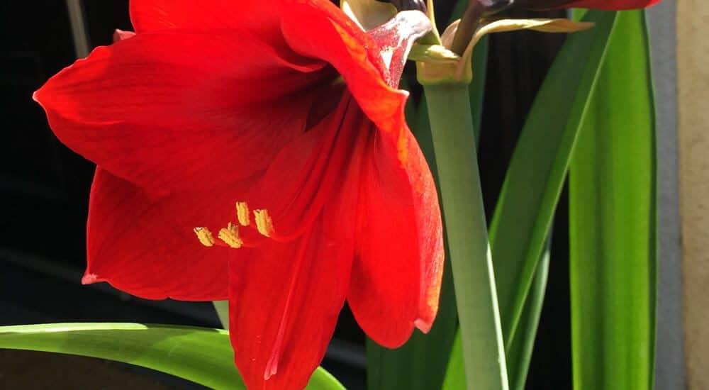 lựa chọn những bông hoa loa kèn màu đỏ