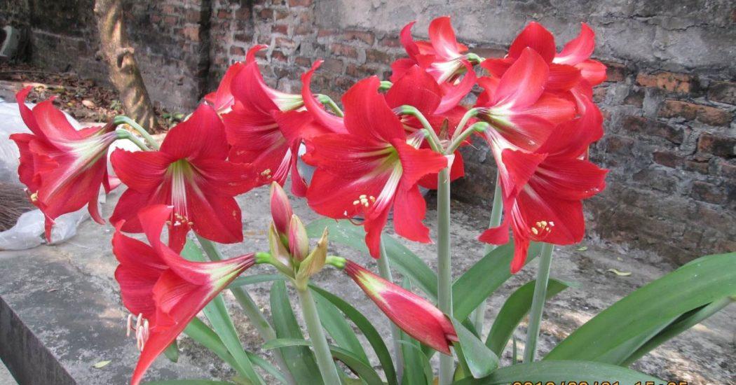 hoa loa kèn ra hoa nhiều