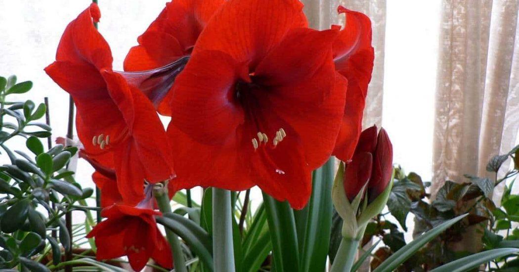 Kỹ thuật trồng và chăm sóc cây hoa Loa Kèn Đỏ