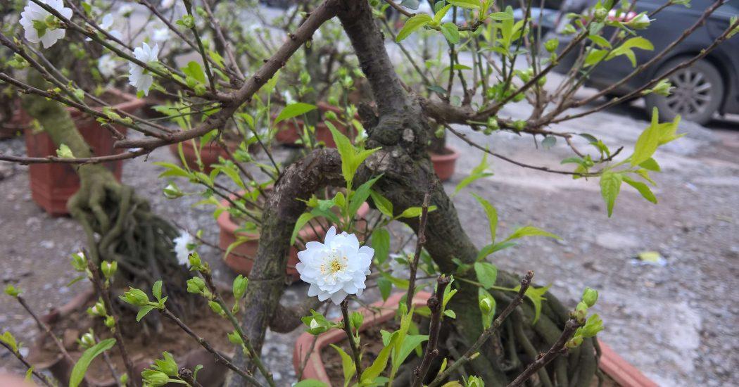 cây hoa nhất chi mai phù hợp trồng khí hậu lạnh