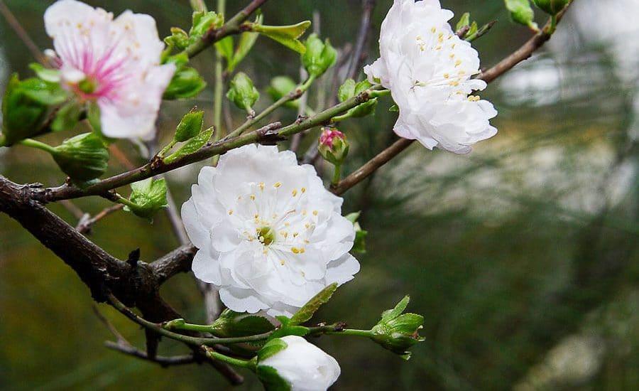 cắt tỉa cây hoa mai trắng đẹp