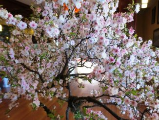 hoa mai trang hoa nhat chi mai 5