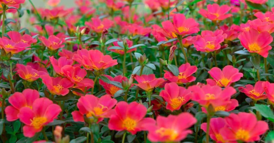 hoa mười giờ nở rộ khi mùa hè tới