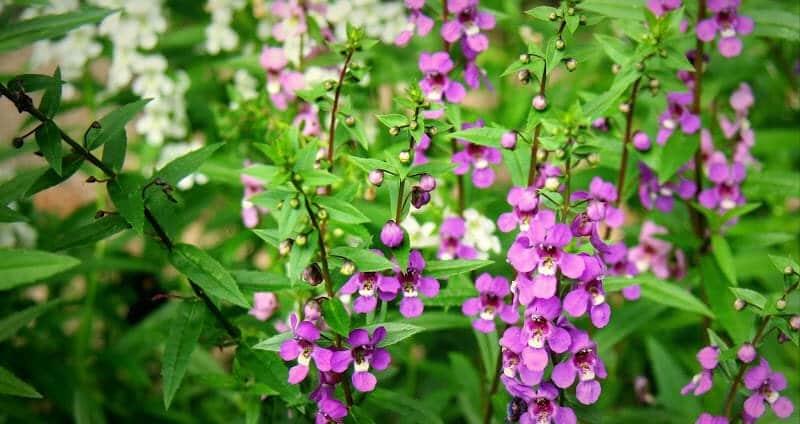 cây hoa ngọc hân mang đến vẻ đẹp mới