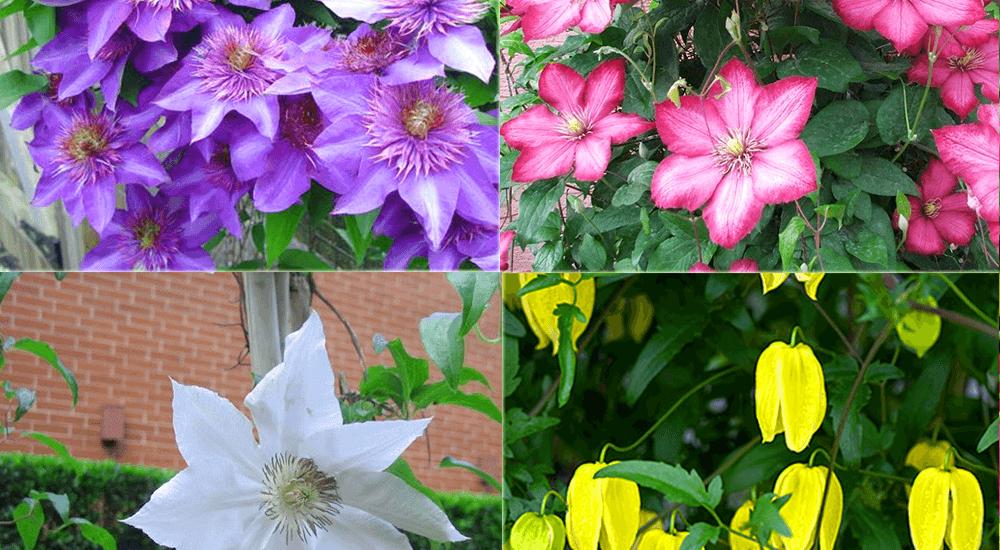 hoa ông lão nhiều màu tạo ra ấn tượng riêng