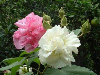 hoa phu dung 1