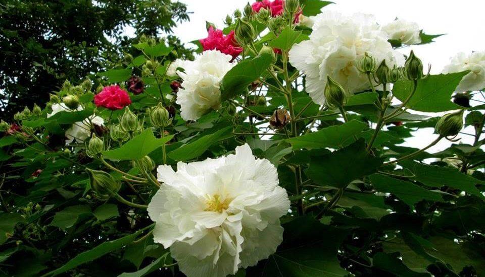 những bông hoa phù dung