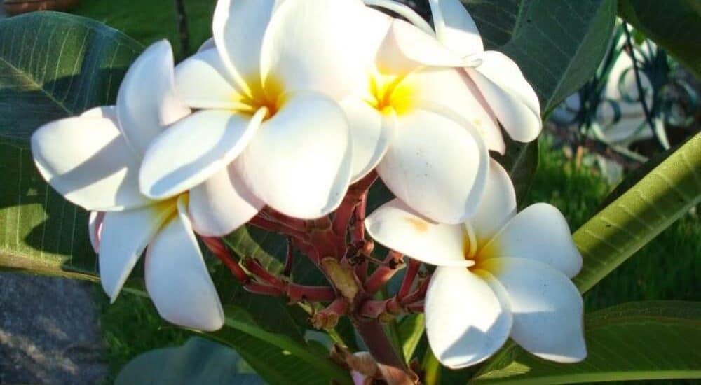 cây hoa đại nở vào mùa nắng nóng