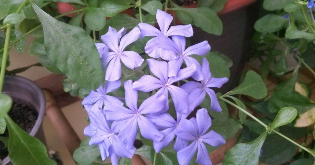 cây hoa thanh xà , bạch xà đẹp nhất