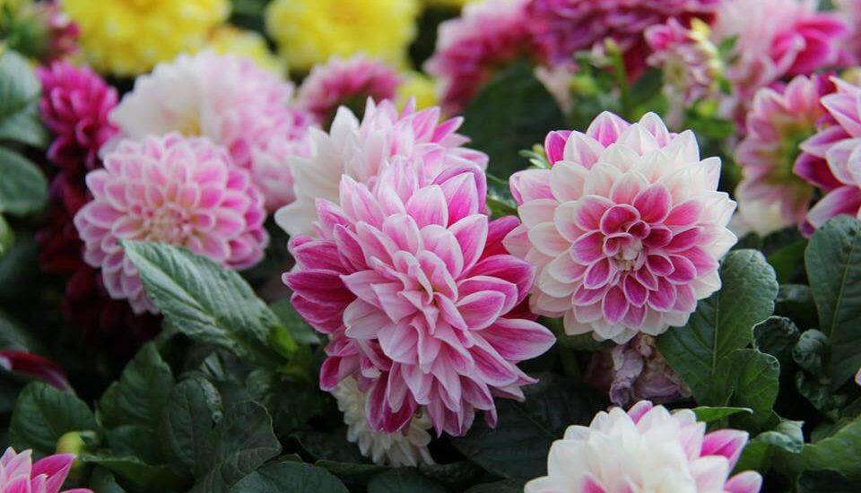 cây hoa thược dược phát triển khỏe mạnh