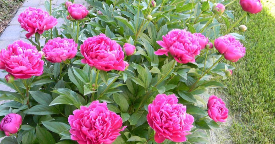 cây hoa mẫu đơn đua nhau khoe sắc khi ánh nắng lên