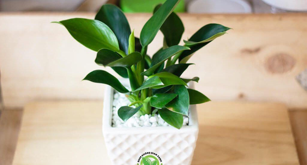 CÂY ĐẾ VƯƠNG XANH Người mệnh mộc nên trồng cây gì trong nhà