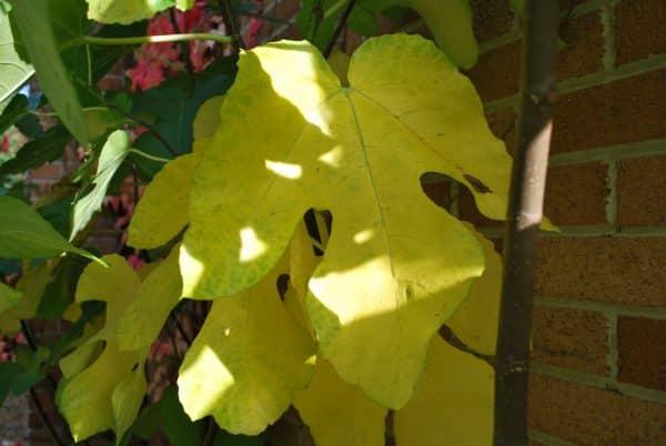 cây  sung mỹ bị vàng lá do thiếu nước