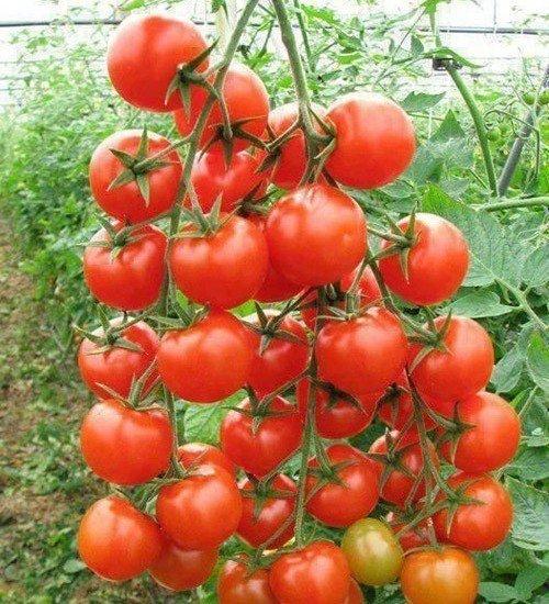 quả cà chua trĩu quả chín mọng
