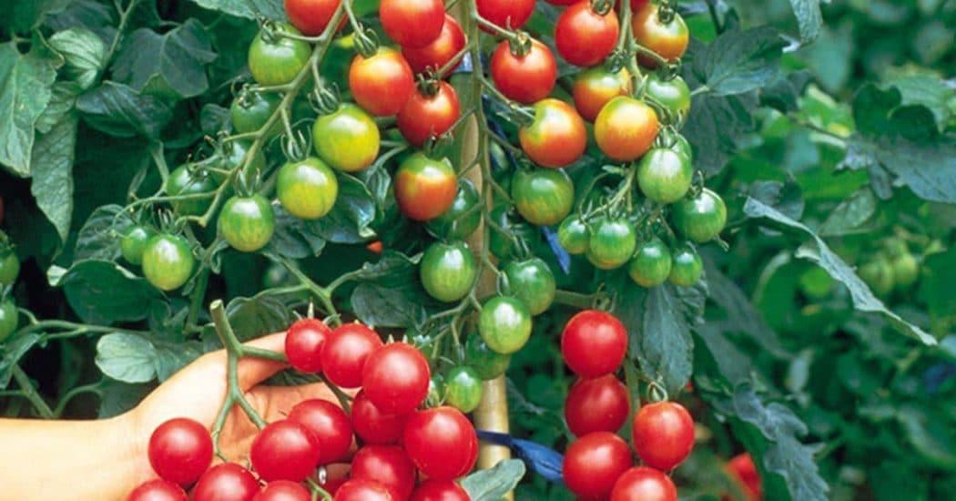 những chùm cà chua trĩu quả