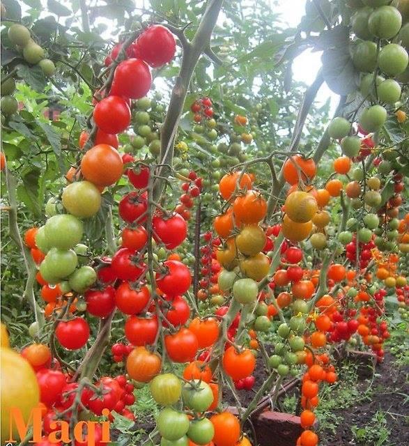 những chùm cà chua cherry dài và nhiều quả