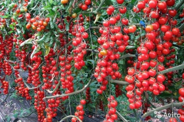 rất rất nhiều cà chua cherry chín