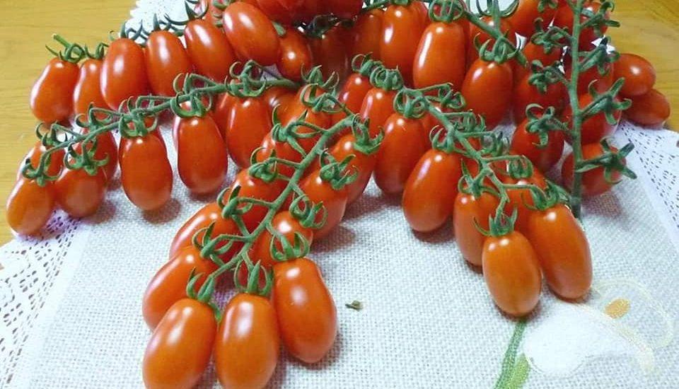 những chùm cà chua cherry