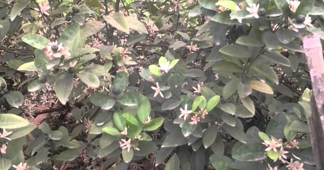 hoa của cây chanh đào