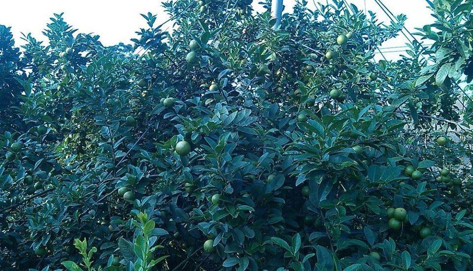 cây chanh đào xum xê quả