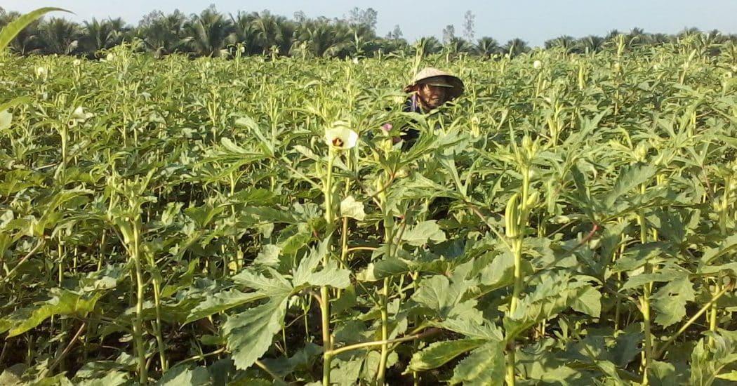 thu hoạch đậu bắp