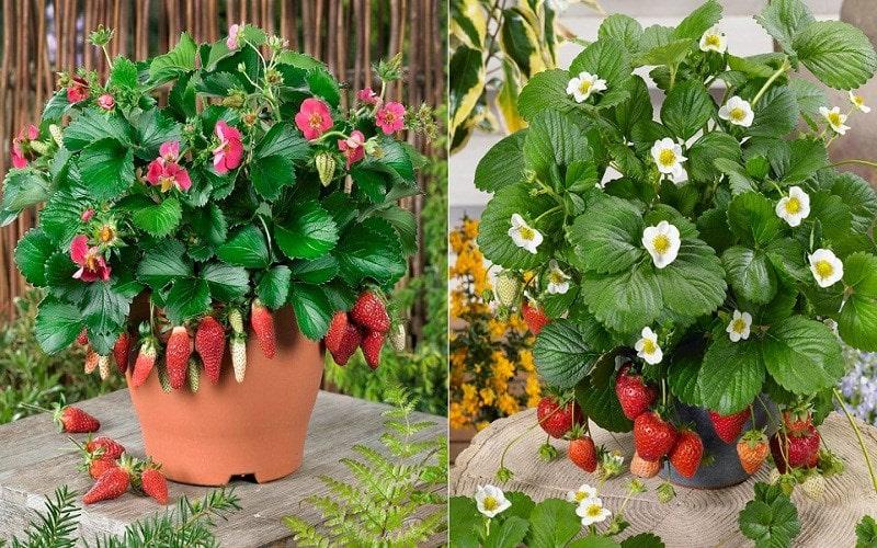 hình ảnh cây dâu tây ra hoa cho nặng quả