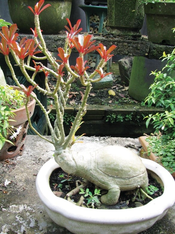cây hoa sứ kiểu dáng con rùa
