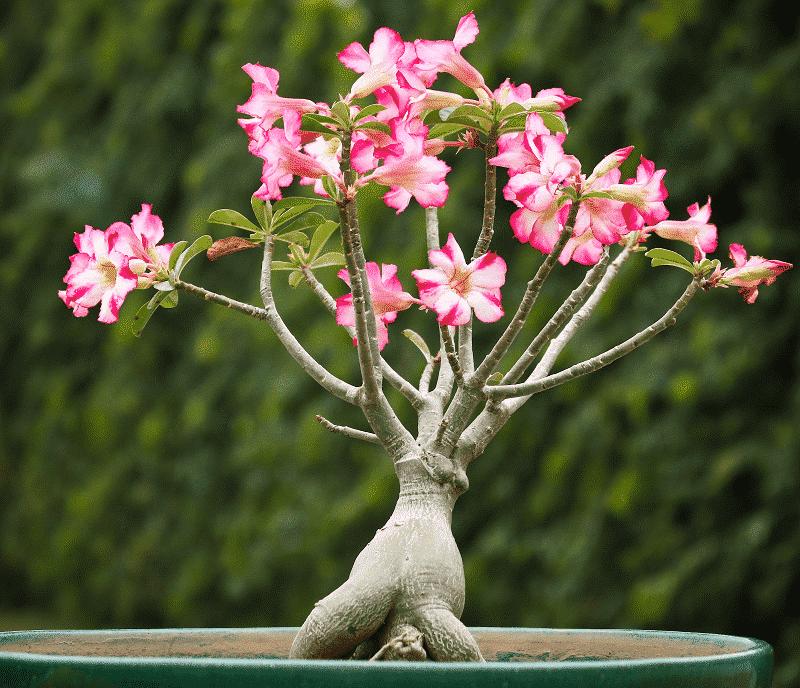cây hoa sứ tạo dáng đẹp