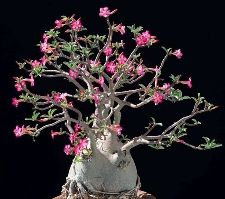 cây hoa sứ có thân độc đáo