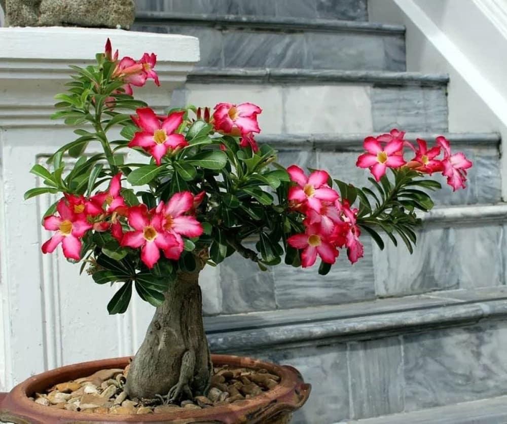 cây hoa sứ ra hoa màu đỏ rất đẹp