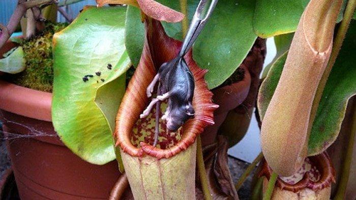 cây nắp ấm bắt chuột