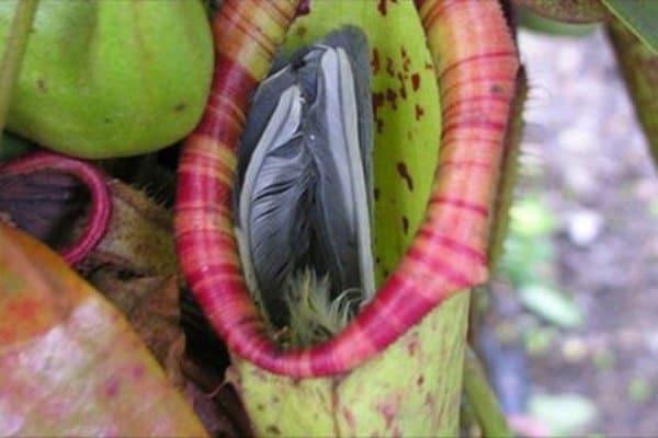 Cách trồng và chăm sóc cây nắp ấm ăn thịt