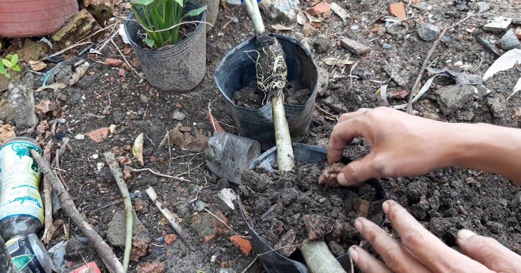 Cách chiết cành cây hoa sứ nhanh và hiệu quả