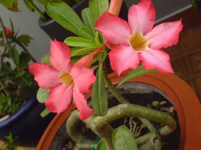 cây sứ ra hoa đẹp nhất