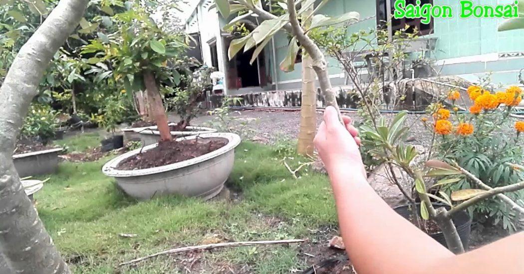 lựa chọn cành để chiết cây sứ