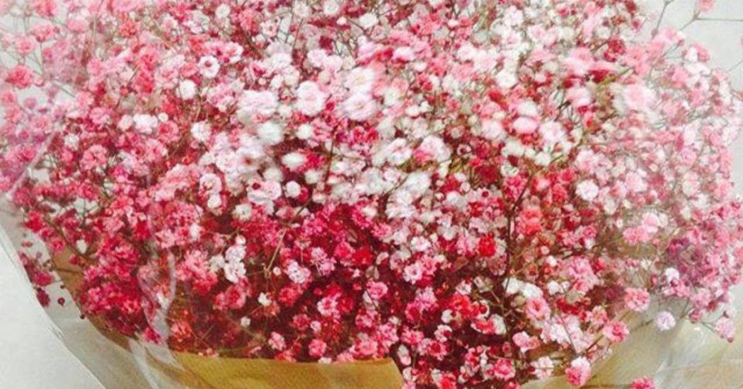 cây hoa baby